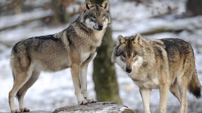 Єгерська служба сумнівається у тому, що овець в Усть-Чорній загризли саме вовки