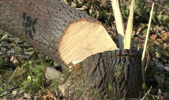Двоє чоловіків незаконно вирубали дерева на території заповідника
