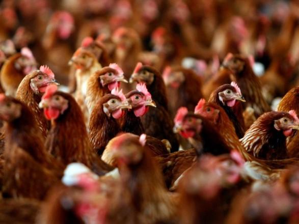 Спалах пташиного грипу: в Україні перевірять усі птахогосподарства