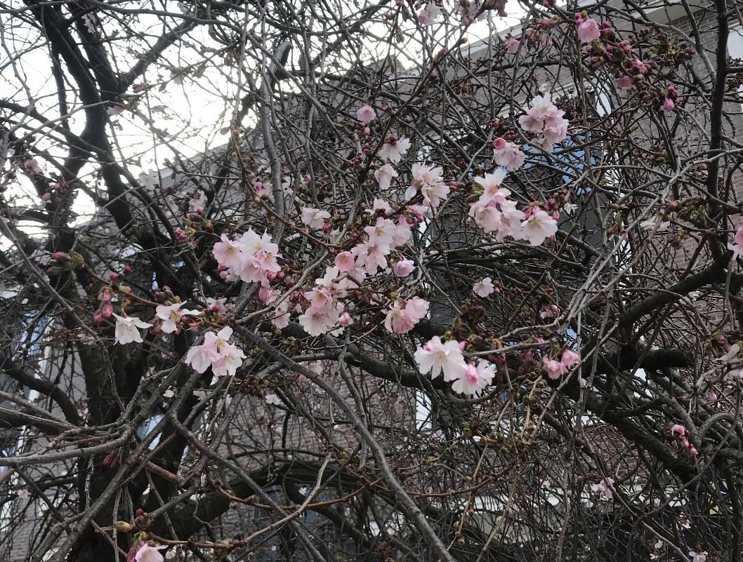 """У Мукачеві почала квітнути """"шалена"""" сакура"""