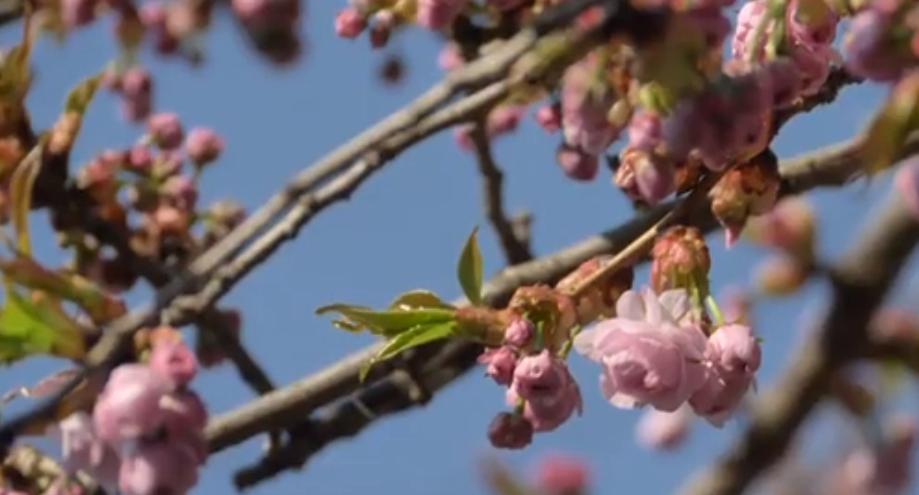 В Ужгороді почали цвісти сакури