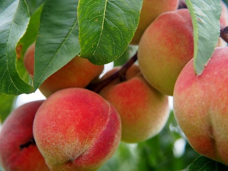 Заморозки знищили урожай ранніх абрикосів і персиків
