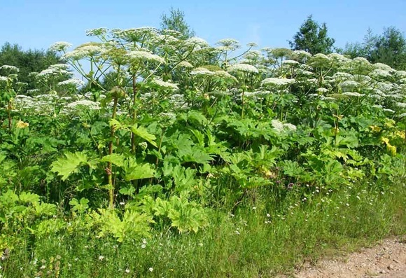 У Мукачівській ОТГ викошуватимуть небезпечні рослини