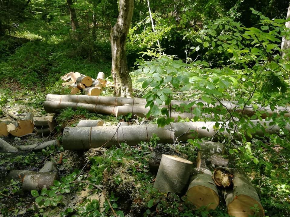 Четверо закарпатців незаконно вирубали дерев на 75 тисяч гривень