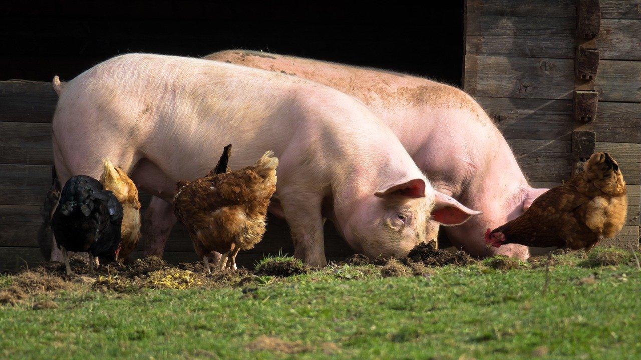 У Закарпатті на чверть зменшився обсяг вирощування сільськогосподарських тварин