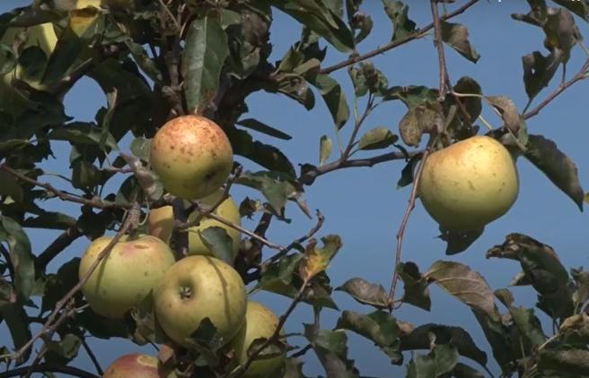 У селі на Ужгородщині всі охочі можуть назбирати собі яблук