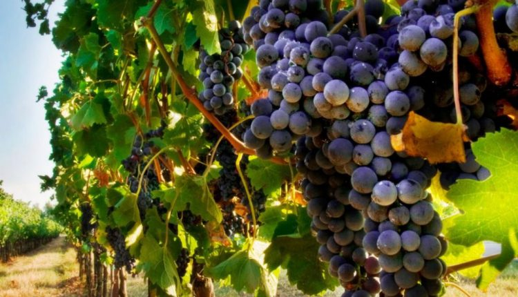 Для закарпатських виноробів 2020 рік став найгіршим за останні десятиліття