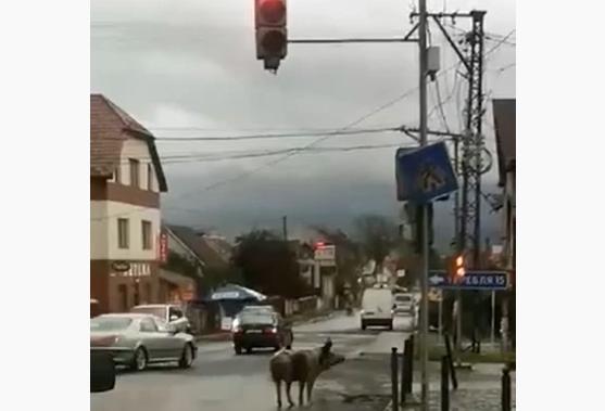 Курйозне відео зняли вранці на одній із доріг Закарпаття у селищі Буштино