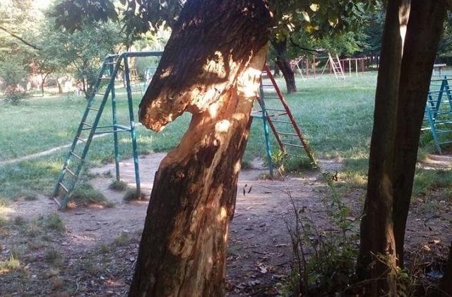 На кількох вулицях Мукачева зріжуть старі та аварійні дерева
