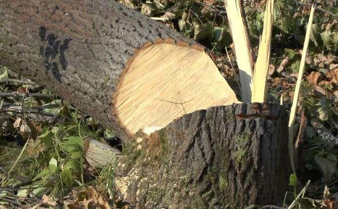За незаконну порубку дерев судитимуть жителя Іршавщини