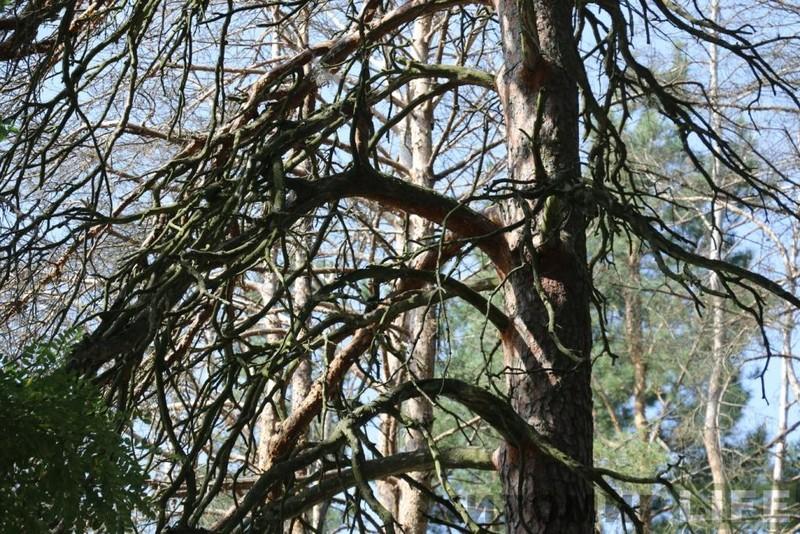 У Мукачеві обстежать та видалять старі дерева
