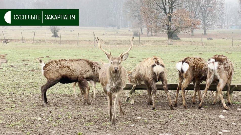 На Закарпатті знаходиться єдина в Україні ферма плямистих оленів