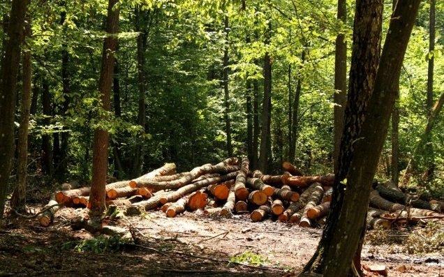 Двоє закарпатців сплатять у бюджет понад 200 тисяч за зрубані ними дерева