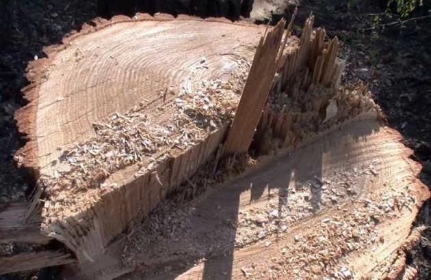 Закарпатець постане перед судом за незаконну рубку лісу