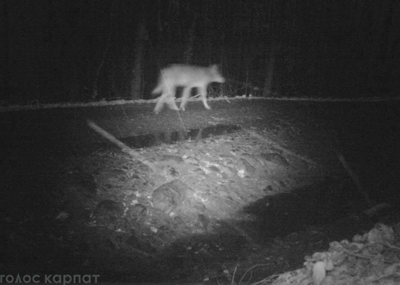 Біля одного із сіл на Закарпатті сфотографували вовчу зграю
