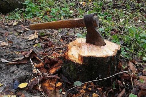 За незаконну рубку дерев судитимуть 22-річного хлопця