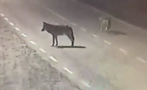 Вулицями одного із сіл Закарпаття бігали вовки: момент зняли на відео