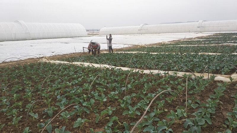 Працюють зранку до вечора: як у Заріччі овочі в теплицях вирощують