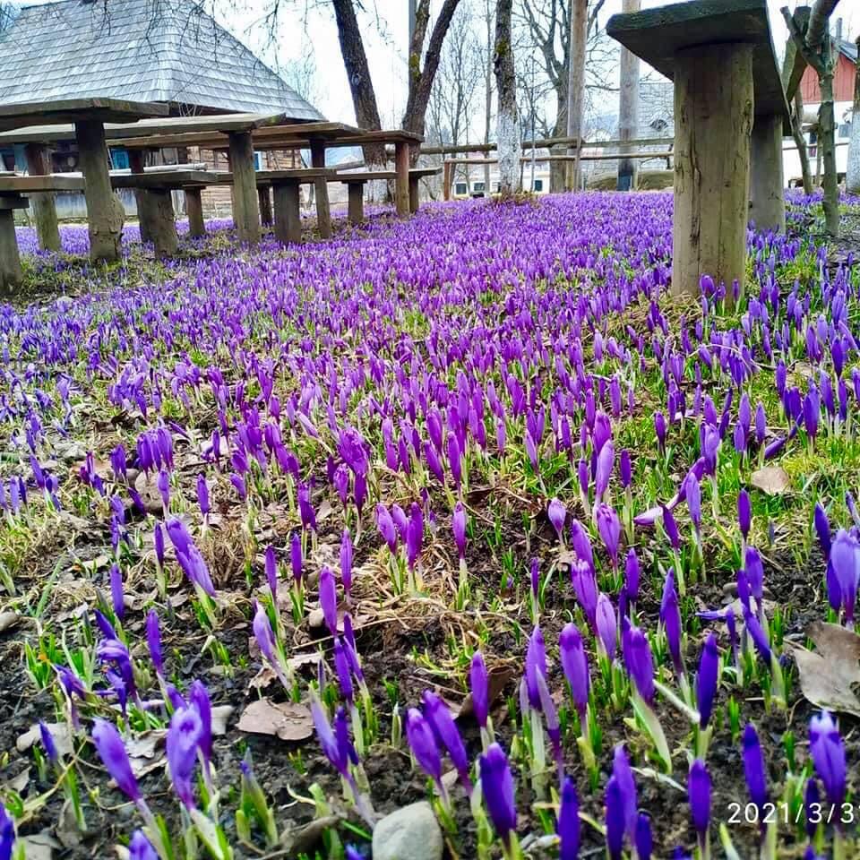 У мережі показали неймовірні фото квітучого поля у Колочаві