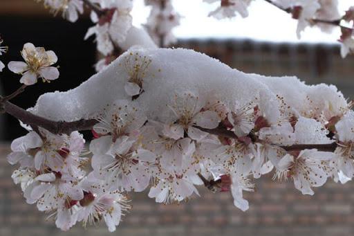 Сніг на Закарпатті: як погода вплине на рослини, які почали квітнути