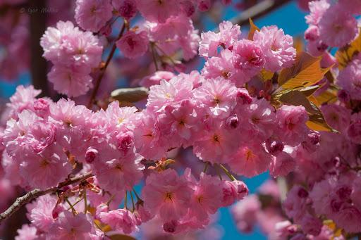 На Закарпатті наступного тижня розквітнуть сакури