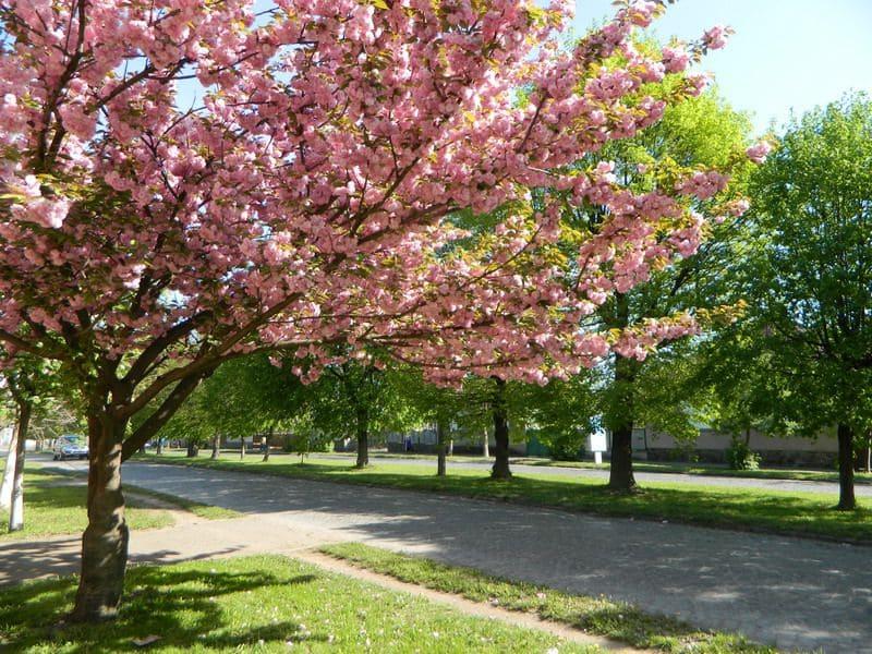Сакура 2021: коли варто очікувати цвітіння сакур в Ужгороді, Мукачеві та Закарпатті загалом