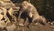Вовк чи чупакабра: невідома істота знову тероризує закарпатське село