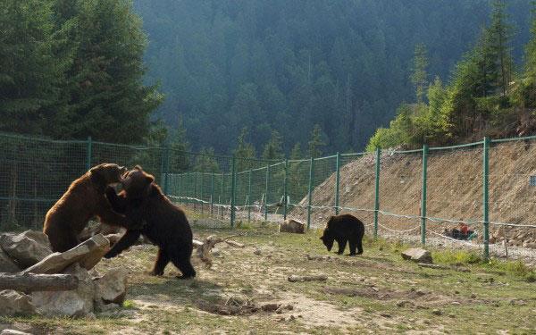 """У реабілітаційному центрі НПП """"Синевир"""" помер ведмідь"""