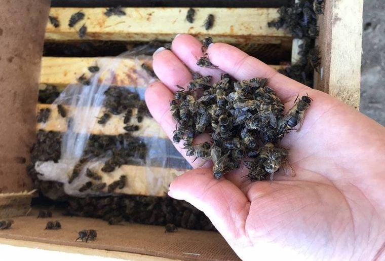 """""""Мертві"""" бджоли загули: частина бджіл, яких вважали мертвими, ожили"""