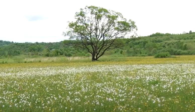 Квітів стає менше: як виглядає Долина нарцисів