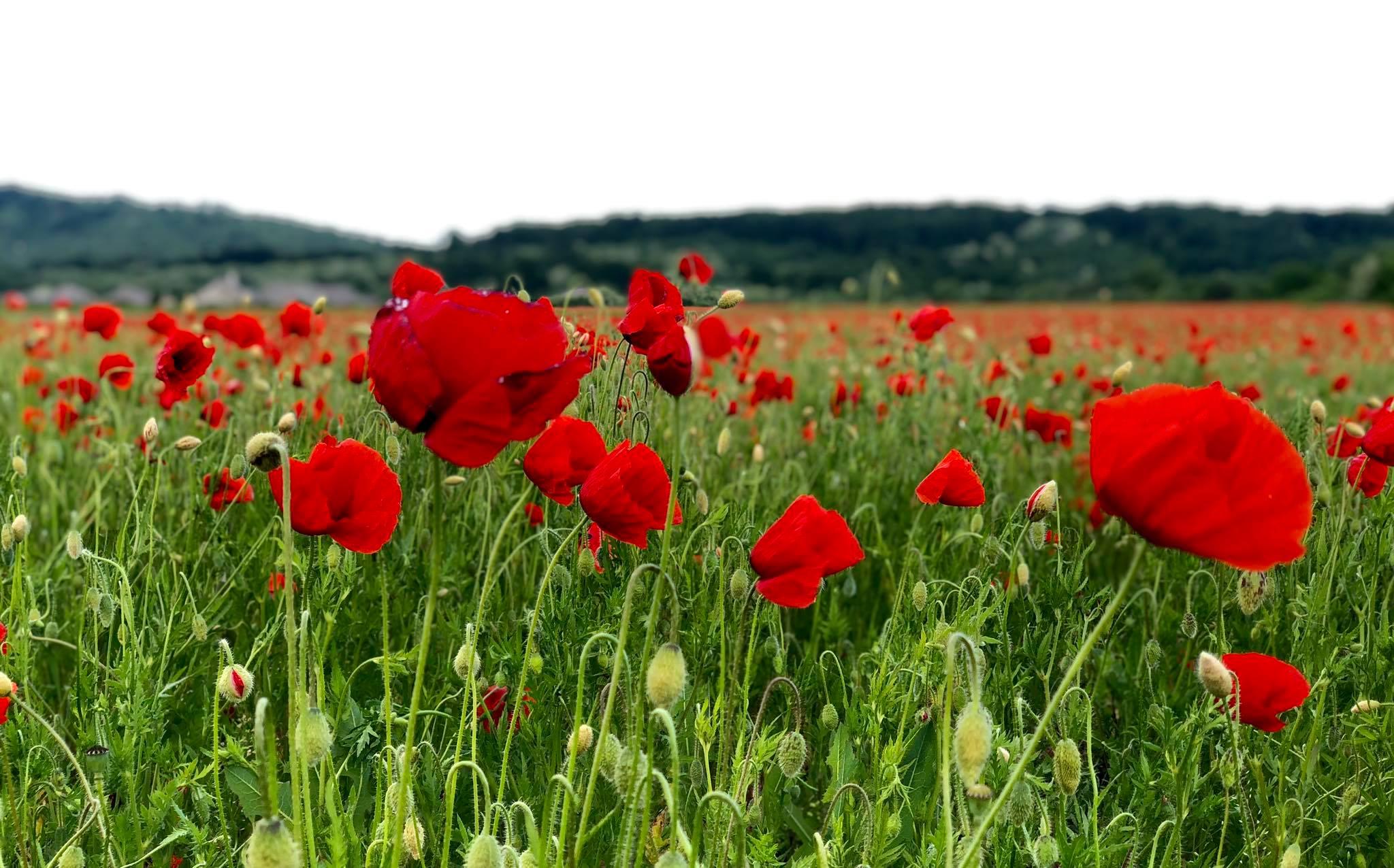 Ідеальна фотозона: у мережі з'явилося відео квітучого дива у Мукачеві