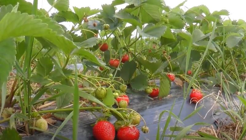 Полуничний бізнес: як у селі біля Мукачева ягоди вирощують