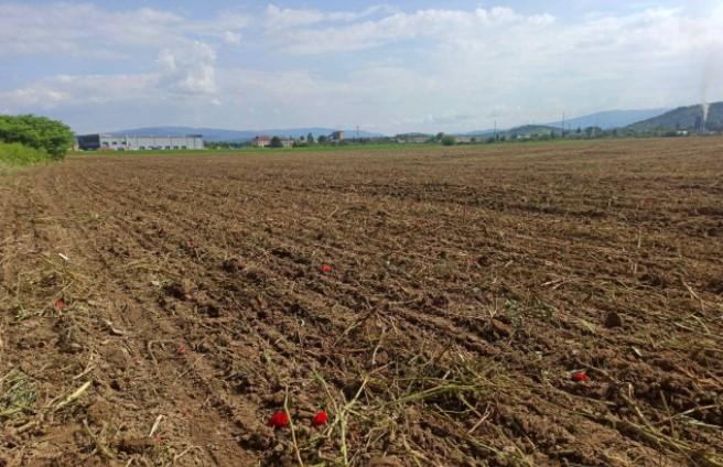 У Мукачеві скосили популярне серед любителів фотографуватися макове поле