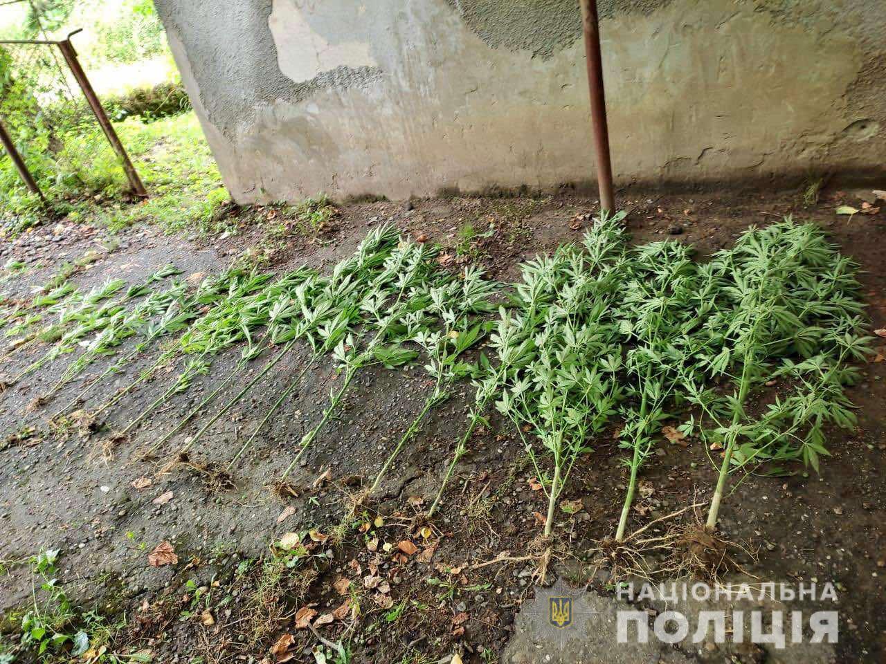 19-річний хлопець вирощував у селі на Мукачівщині коноплю