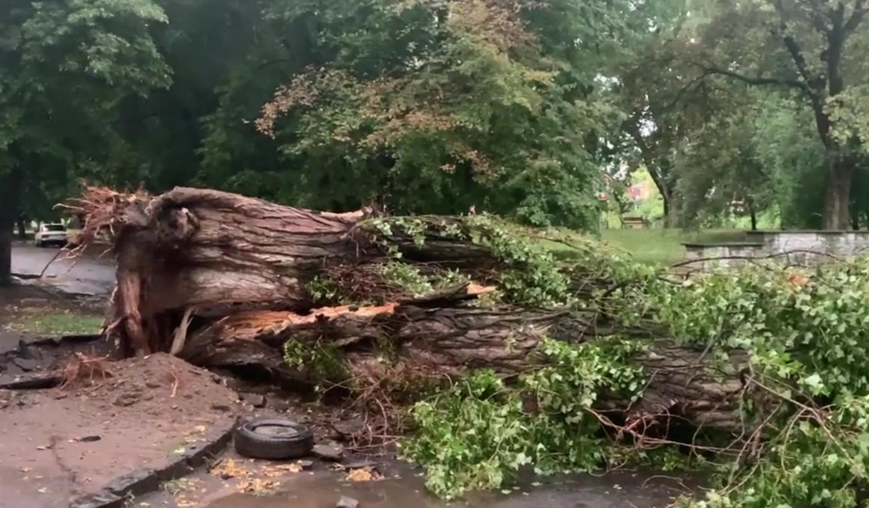 В Ужгороді під час негоди впало велике дерево