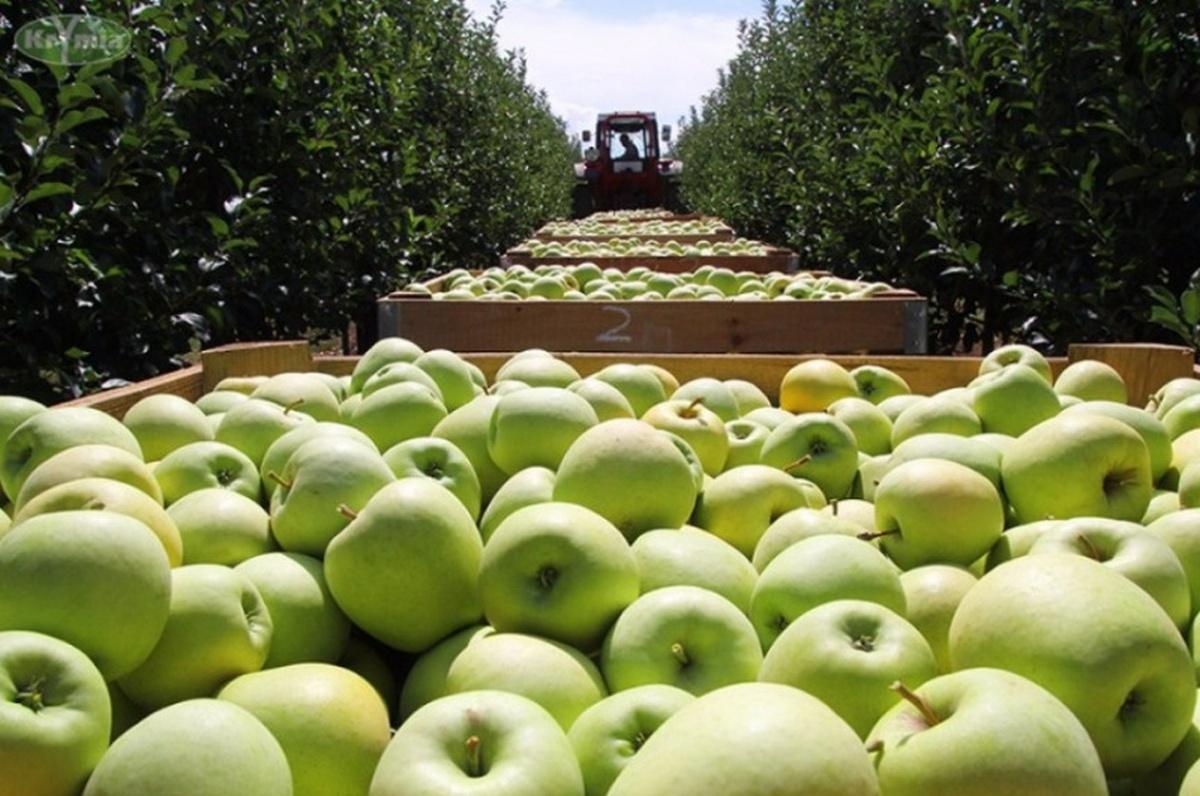 Робота в Польщі: заробітчани відмовляються приїжджати на збір яблук