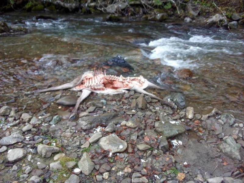 У Рахівському районі за останні два тижні вовки загризли двох самок оленя.