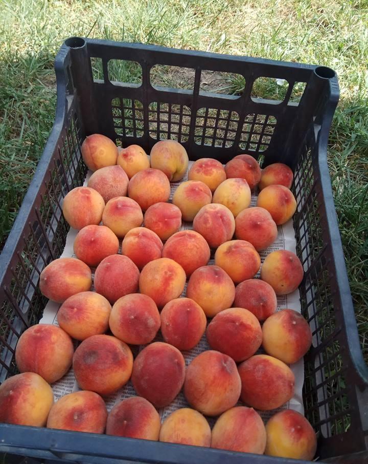 На Закарпатті стартував персиковий сезон